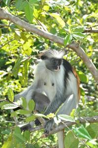 aap in afrika
